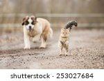 Stock photo saint bernard puppy running behind adult tabby cat 253027684