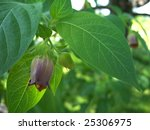 Small photo of Closeup of a belladonna blossom