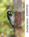 Small photo of Acorn Woodpecker (Melanerpes formicivorus) on a peanut feeder
