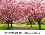 cherry blossom road   Shutterstock . vector #253224679