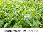 tobacco plant on countryside of ... | Shutterstock . vector #253271611