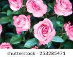 Stock photo fresh beautiful pink roses in the garden 253285471