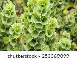 bells of ireland  moluccella... | Shutterstock . vector #253369099