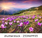 Постер, плакат: Blossom of crocuses at