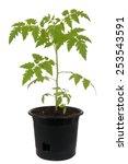 Tomato Plant In Pot Over White...