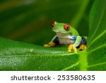 Red Eyed Amazon Tree Frog On...