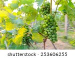 Vineyard With Small Green Grapes