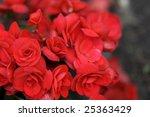 Red Begonias In Full Blossom ...