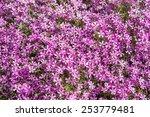 Flowers Phlox Subulata