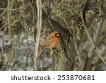 Small photo of Red cardinal sitting on a broken Russian olive tree branch. (cardinalidae,elaeagnus)