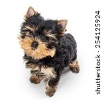 Stock photo yorkshire terrier puppy isolated on white background 254125924