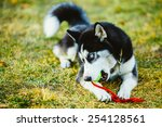Young Dog Husky Puppy Plays...
