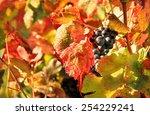 Harvesting Grapes  Black Grape...
