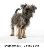 Small photo of An Affenpinscher puppy dog looking at the camera and shot in a studio with a neutral, white background.
