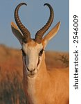 springbok in lovely light | Shutterstock . vector #2546009