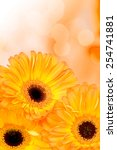 orange gerber flowers on color... | Shutterstock . vector #254741881
