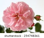Pink Rose Flower. Romantic Soft ...