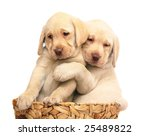Stock photo two puppies of breed labrador a retriever in a basket puppies on a white background 25489822