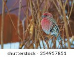 House Finch Perched On Branch.