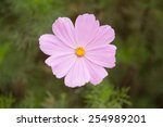 A Pink Cosmos Bipinnatus ...