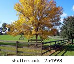 This is a shot of a golden fall tree on a horse farm in NJ. - stock photo
