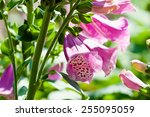 Bell Shaped Foxgloves In Summe...