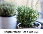rosemary in white pot with... | Shutterstock . vector #255105661