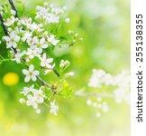 blossom tree over nature... | Shutterstock . vector #255138355