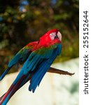 green winged macaw | Shutterstock . vector #255152644