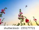 hollyhock flower garden with...   Shutterstock . vector #255177721