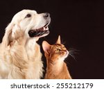 Stock photo cat and dog abyssinian kitten and golden retriever looks at right 255212179