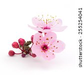 cherry blossoms | Shutterstock . vector #255254041