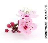 cherry blossoms | Shutterstock . vector #255254041