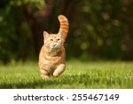 British Cat Walking On The Grass