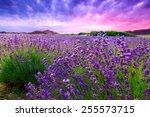 sunset over a summer lavender...   Shutterstock . vector #255573715