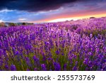 sunset over a summer lavender... | Shutterstock . vector #255573769