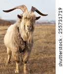 Small photo of Old unkempt goat with big horns on dried pasture.