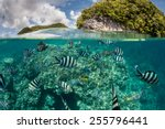 damselfish swim in shallow... | Shutterstock . vector #255796441