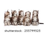 Stock photo large group of small maine coon cats looking up isolated on white background 255799525