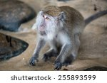 Macaque Monkey With Different...