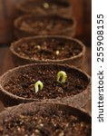 Row of biodegradable starter pots with bean seedlings in organic potting soil.  Selective focus limited to seedling with water droplet. - stock photo