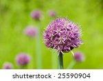 ornamental onion  allium...