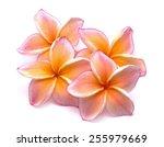 Colorful Plumeria Flower...
