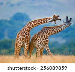 Two giraffes fighting each...