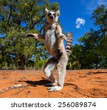 ring tailed lemur in madagascar.... | Shutterstock . vector #256089874