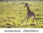 Baby Giraffe Running In The...