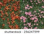 Two Colors Chrysanthemum...