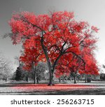Big Red Tree In A Black And...