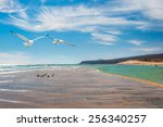 Seagulls By The Shore Of Costa...
