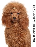 Red Miniature Poodle. Close Up...